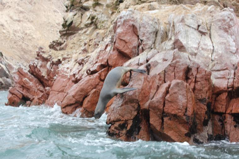 Lobo Marino, Islas Ballestas