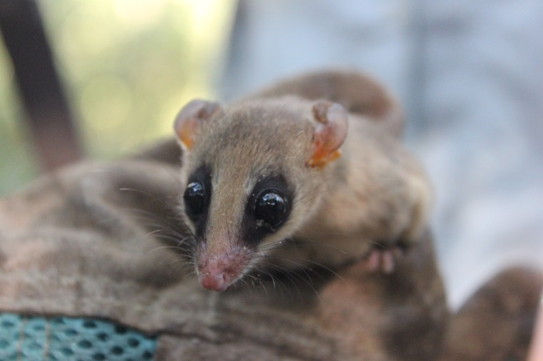 Mouse opossum/ Marmosa murina