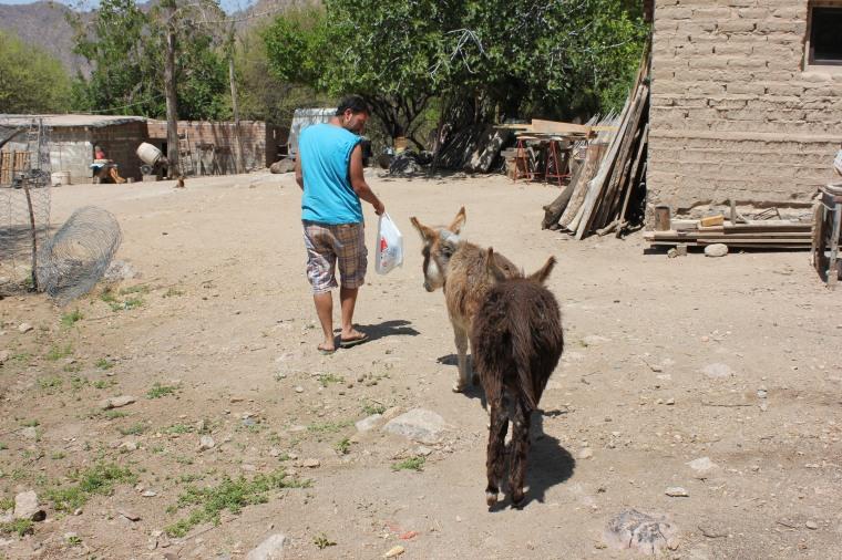 Manu perseguido por los burros