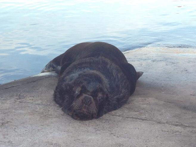 León marino en el puerto de Punta del Este