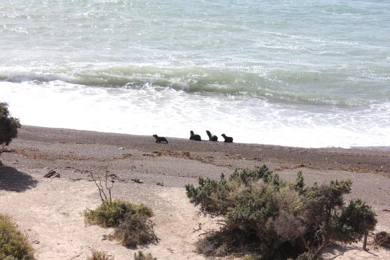 Leones marinos bebes
